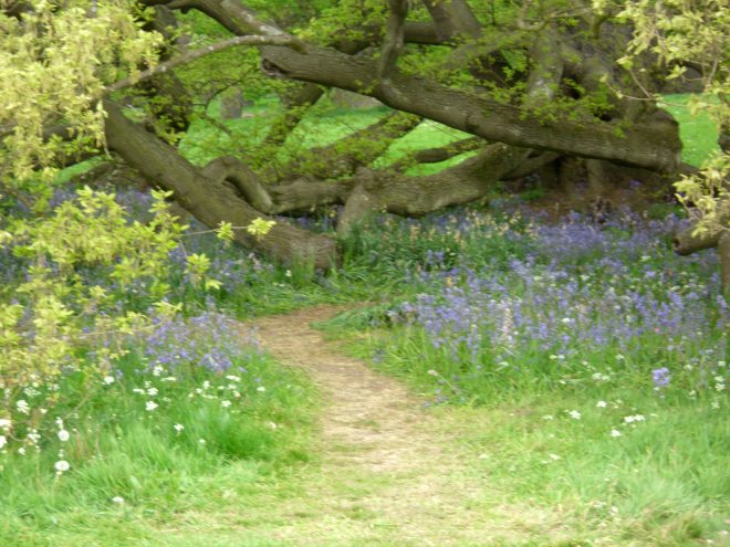 bluebell and oak